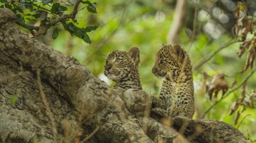 Olimba - Königin der Leoparden
